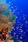 Coral reef & anthias